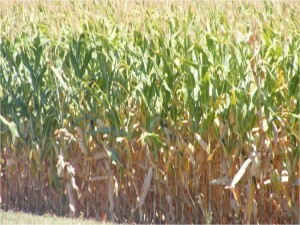 "Corn should be dried ""up to the ear"" for best results when utilizing aerial application."