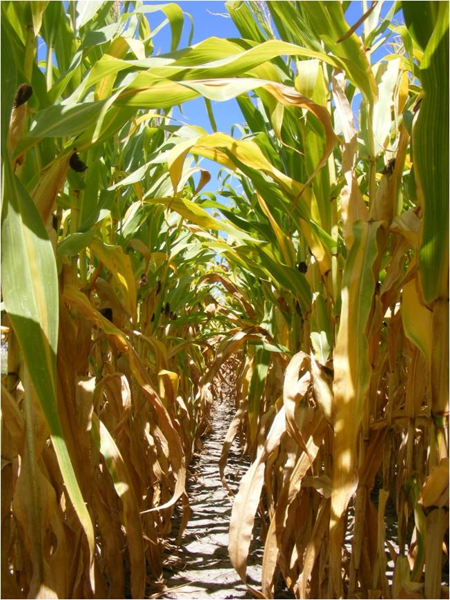 Approximately 50% of the sunlight should reach the ground in the field when aerial applying cover crops into corn.