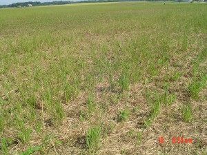 Forage and cover crop 030