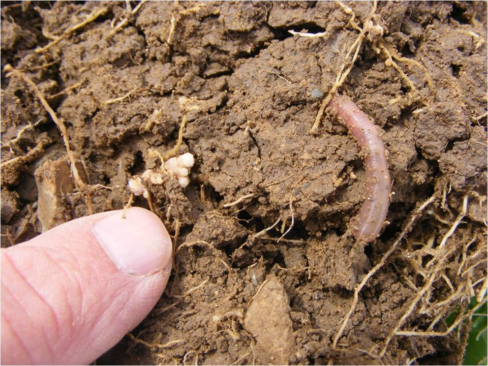 Earthworms thrive in many cover crops