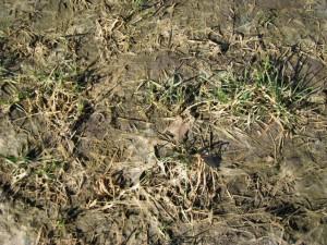 Oats and Oilseed Radish Mar 16 2010 - 4566 (4)