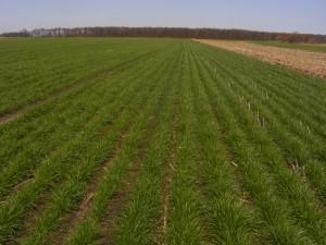 cover crop 2010 044