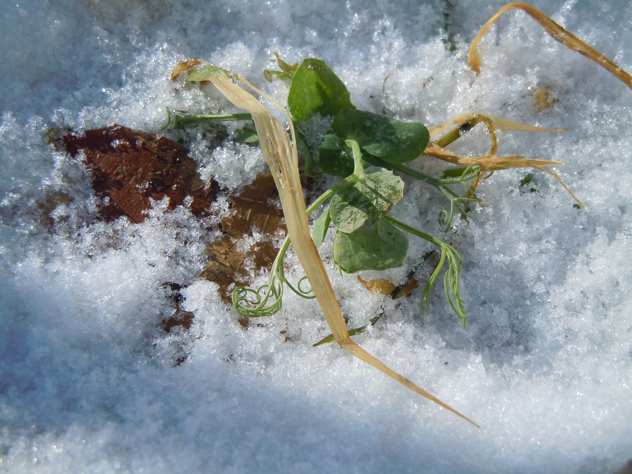 Cover crops under the snow what s happening plant cover crops
