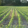 "Corn Planted into ""Forager Mix"" - a mix of Oats, Cereal Rye, and Appin Turnips"