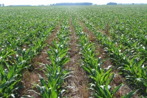 Ohio planting into out of control peas plant cover crops