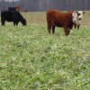 Cattle grazing Forager Mix