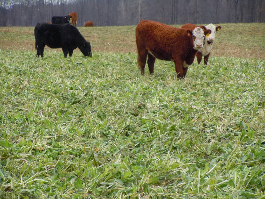 Cows And Crops http://plantcovercrops.com/grazing-cover-crops/