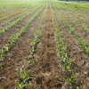 Corn planted into annual ryegrass cover crop