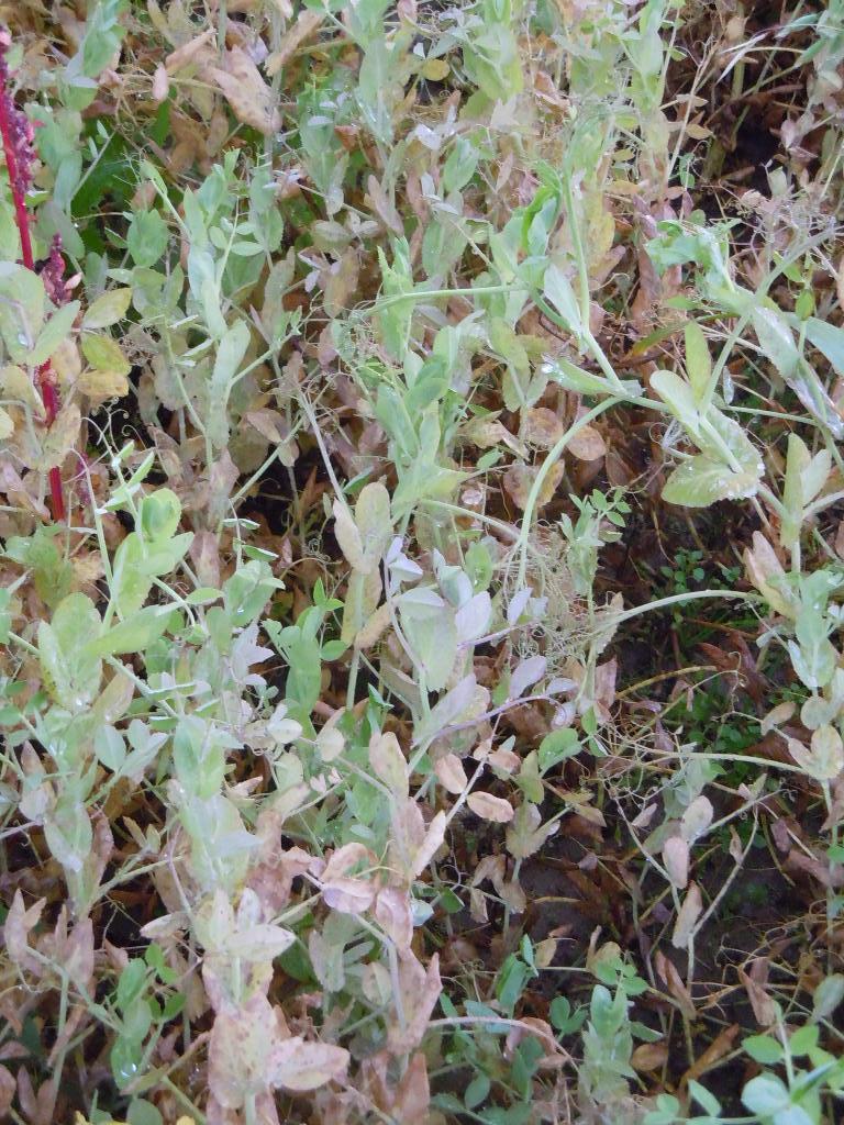 Austrian winter pea plants it is important to inoculate each seed