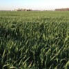 2012.10.25 Oats Cover Crop Kosciusko County IN 2