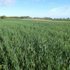 This cover crop field was ready for harvest in late September 2012.