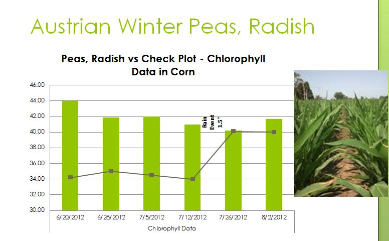 Austrian winter peas and radish after soybeans plant cover crops