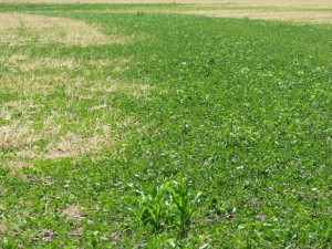 It is easy to see the area where the soybeans were planted into tilled ground over a new tile compared to the soybeans no-tilled  into winter cereal rye.