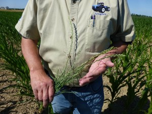 It only takes a few annual ryegrass plants that produce seed to create a weed problem - especially if wheat is in the rotation.