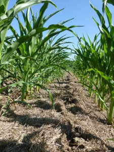 A mixture of Annual Ryegrass, Crimson Clover, and Radishes provided a very clean corn field.