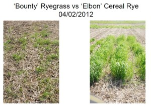 September 5, 2011 planted Annual Ryegrass compared to Winter Cereal Rye in central Iowa in April 2012.  Note the dramatic difference in winterhardiness.