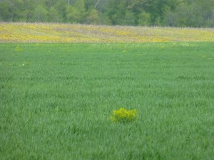 Should farmers be penalized in a wet and cold year for growing a cover crop instead of having a field of winter annual weeds?  Common sense says that a cover crop is better for agriculture than weeds.
