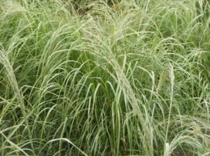 Summer Delight Teff Grass