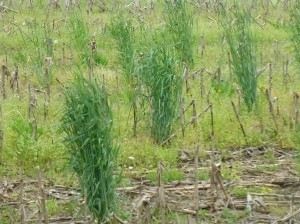 Volunteer Winter Cereal Rye was also growing in the old plot area.  The cover crop was terminated well before the corn will be planted.