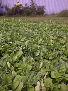 This prevent plant field had plenty of nitrogen from manure to capture.  Hagan farms used a hybrid brassica and spring barley to secure the nitrogen and Berseem clover to produce more N and provide better soil health.